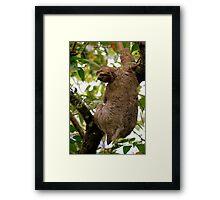 Three-toed sloth (Bradypus variegatus) - Costa Rica Framed Print
