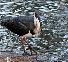 Ibis At the Pond by STHogan