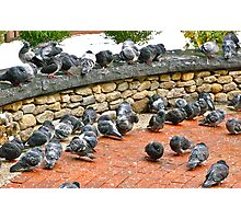 A Huddle of Pigeons Photographic Print