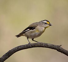 At The Waterhole ... Striated Pardalote by mosaicavenues