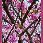 Double Cherry Blossom Spring by Carol F. Austin