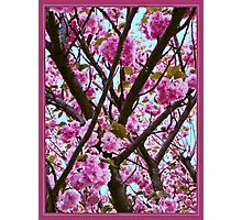 Double Cherry Blossom Spring Photographic Print