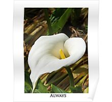 Always - Giant Calla Lily Poster