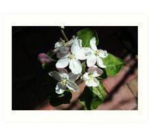 Apple blossom white Art Print