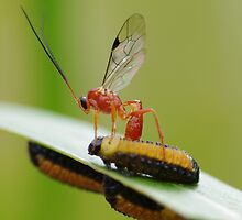 predatory wasp by Michael Beaumont