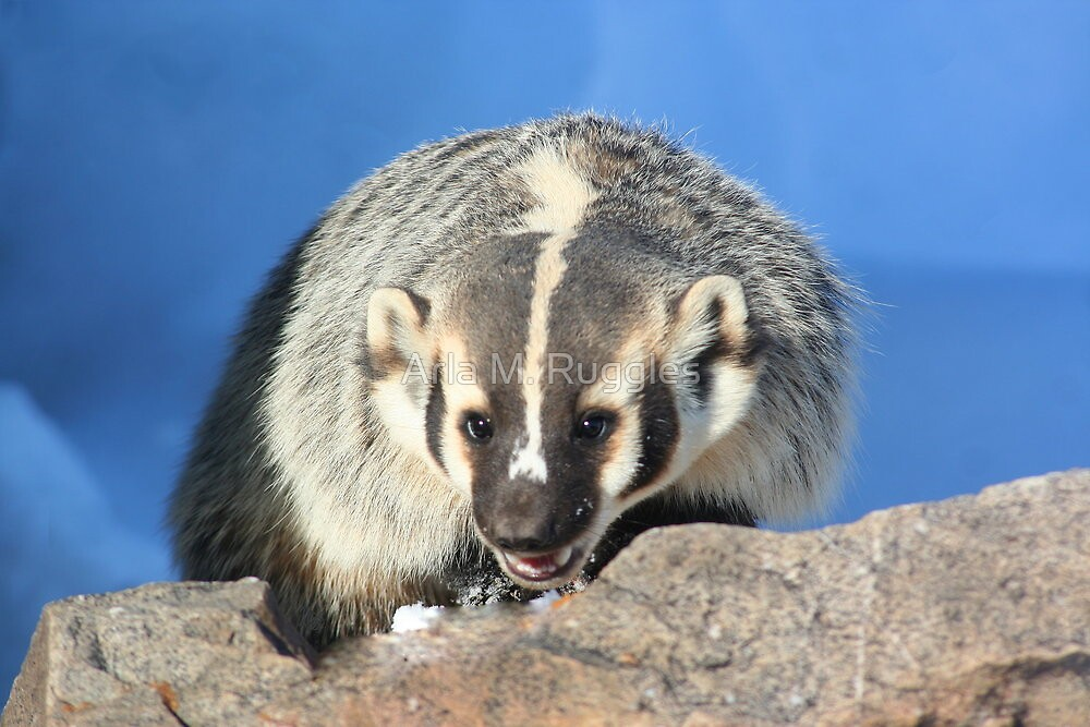 Badger (2) by Arla M. Ruggles