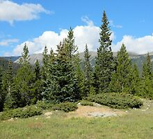 Stand of Conifers by Kathleen Brant