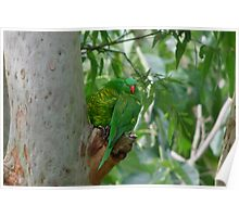 Scaly Breasted Lorikeets Poster