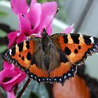 Small Tortoiseshell Butterfly by AnnDixon