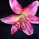 Lillium...1st attempt at macro by SimplyRed