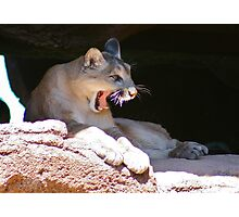 A Yawn or a Growl? Photographic Print