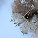 Winter Hydrangea © by JUSTART