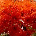 Blaze of Orange Gum Flowers by ange2