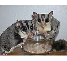 Funky Sugar Glider Photographic Print