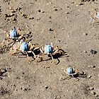 Blue Soldier Crabs by Margaret Stevens