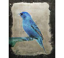Mountain Bluebird Photographic Print