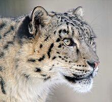 Snow Leopard by Alain Turgeon