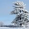 BEAUTIFUL WHITE TREES - MEMBERS ONLY-