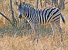 Young Zebra by Graeme  Hyde
