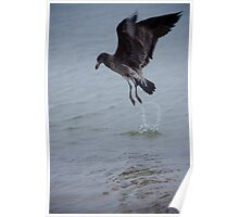 Pacific Gull Fledgling, Diving for food! Poster