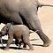 OLIFANTE / ELEPHANTS in Africa / Afrika