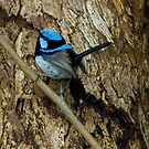 &#x27;All Smart in Blue&#x27; - Supurb Fairy Wren  by Eyes-of-Sol