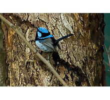 'All Smart in Blue' - Supurb Fairy Wren  Photographic Print