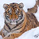 Siberian Tiger Cub (C) by Jay Ryser