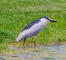 Crowned Heron by AnnDixon