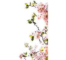 Cherry Blossom Screen Photographic Print
