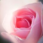 The Colour Pink - English Rose by Carole Anne Ferris
