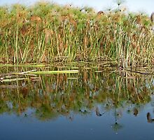 Papyrus  (Cyperus papyrus) Reflections in Okavango by Margaret  Hyde