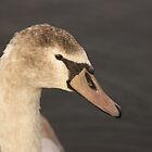 Swan - Caldecotte Lake Milton Keynes by JohnBuchanan