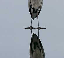 grey heron, somethings not quite right here! by Grandalf