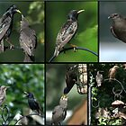 A Collage of Starling images by Chris Day