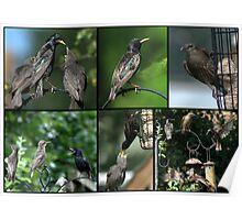 A Collage of Starling images Poster