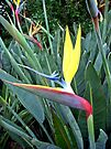 Strelitzia Mandela, South Africa by Margaret  Hyde