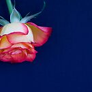 Rose dropping in  by DIANE  FIFIELD