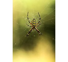 Tiger spider Photographic Print
