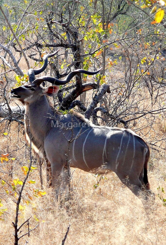 Kudu, South Africa (Tragelapohus strepsiceros) by Margaret  Hyde