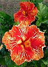 "Hibiscus ""Dr John Bashford"" by Margaret  Hyde"