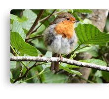 Fluffy Robin Red Breast  Canvas Print