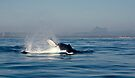 Humpback Whale (Megaptera novaeangliae) & Mt Warning by Odille Esmonde-Morgan