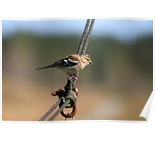 Chaffinch on a wire Poster