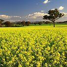 Canola Field. by Petehamilton