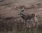 Whitetail strolling by Rodney55