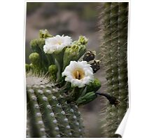 Magnificant Bloom of the Saguaro  Poster