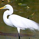 Great white egret in full breeding plummage by jozi1