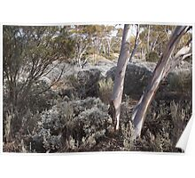 Salt Bush and Salmon Gums Poster