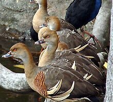 Plumed Whistling Ducks by TGrowden
